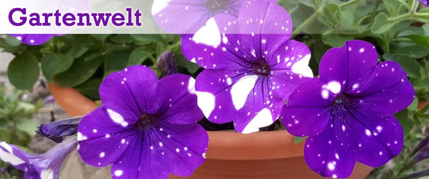 Gartenwelt lila gepunktete Blüten